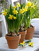 Clay pots with Narcissus 'Tete A Tete' (Daffodil) on white chair