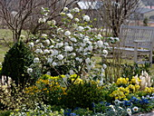 Spring bed with Viburnum X burkwoodii (scented snowball)