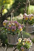 Viola cornuta Gem 'Apricot Antique' (horn violet)