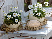 Bellis and Viola cornuta in ostrich eggs