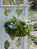 Wire basket planted with white spring flowers