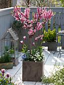 Prunus persica 'Amber var. Pixzee' planted with Tulipa