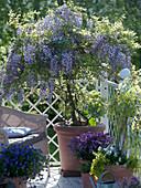 Wisteria floribunda 'Domino' (blue wisteria) grown as a stem