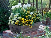 Wooden basket with Tulipa 'White Dream', Erysimum 'Winter Sun'