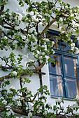 Malus (Trellis apple tree) pulled on the wall