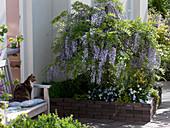 Wisteria floribunda grown as a tree in the patio
