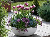 Tulipa 'Ballad', Primula auricula