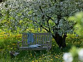 Bench with pillows under Prunus cerasus on blooming meadow