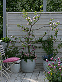 Malus 'Raika' (apple), Ribes (gooseberry and currant)