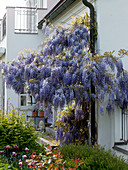 Wisteria sinensis on the downpipe, bed with Buxus
