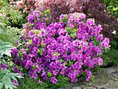 Rhododendron obtusum 'King's Stone' (Japanese Azalea)