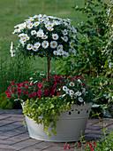 Argyranthemum frutescens 'Stella 2000', Calibrachoa