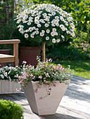 Argyranthemum frutescens 'Stella 2000', stem planted