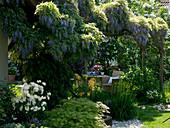Pergola with Wisteria floribunda (wisteria)