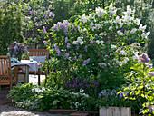 Syringa vulgaris 'Mont Blanc' 'Katharina Havemayer' (lilac)
