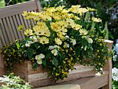Osteospermum Springstar 'Big Yellow', Lantana Suntana