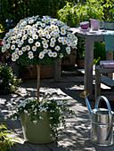Argyranthemum 'Stella 2000' (marguerite) stem underplanted