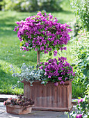 Bougainvillea trunk and bush with Helichrysum petiolare 'Goring Silver'
