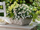 White wicker basket with Argyranthemum 'Honey Star' (marguerite)