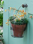 Echeveria herbergii (Echeverie) hung in wire basket