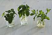 Melissa (lemon balm), Ocimum (basil), Mentha (mint)