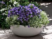 Bowl with Campanula medium Poem 'Blue', Euphorbia