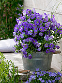 Campanula medium Poem 'Blue' (Marian bellflower) in zinc tub