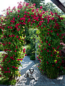 Rose 'Greeting to Heidelberg' (climbing rose) on a roses arch