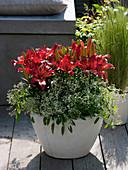Lilium asiaticum 'Matrix' (lily), Euphorbia 'Diamond Frost'