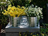 Nemesia Sunsatia 'Pera' 'Pomelo' in small tin buckets