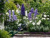 Delphinium 'Bluebird', 'Excalibur', 'Galahad', 'Cheers'