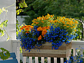 Wooden balcony box with Tagetes patula and tenuifolia