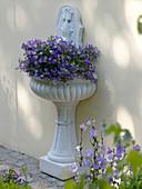 Wall fountain planted with Campanula medium (Marian bellflower)