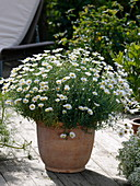 Argyranthemum frutescens 'Stella 2000' in terracotta pots