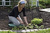 Woman planting Fragaria vesca as bedding border