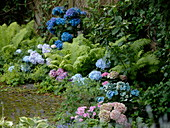 Shade bed with Hydrangea in pink and blue, Matteuccia