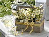Matricaria chamomilla (Real chamomile)