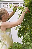 Summer cut on wisteria
