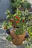 Lycopersicon 'Miniboy' (Mini-Tomato), Ocimum