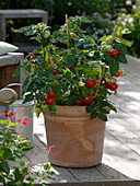 Lycopersicon 'Miniboy' (mini-tomato) in terracotta tubs