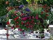 Balcony box with Verbena Lascar 'Hot Rose', Petunia Surfinia