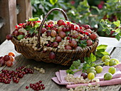 Wicker basket with freshly harvested redcurrants (Ribes rubrum)