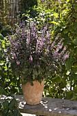 Ocimum kilimandscharicum X Basil Purpurascens 'African Blue'