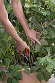Cutting out old shoots of raspberry (Rubus)