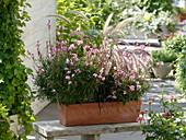 Gaura lindheimeri 'Lillipop Pink', Pennisetum 'Dwarf Rubrum'