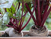 Beta vulgaris 'Babybeat' (Beets, Beetroot)