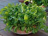 Rocket salad in terracotta bowl