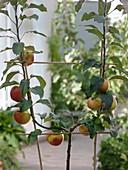 Malus 'Jonagold' 'Elstar', duo tree with two varieties in u-shape