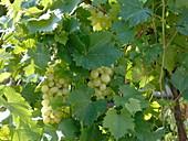 Vitis vinifera 'Palatina' (grape), fungus-tolerant variety