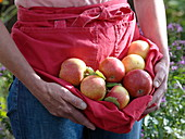 Freshly picked apples 'Collina' variety in apron